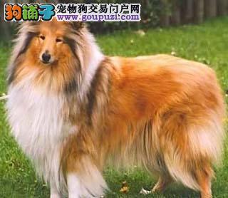 赛级品相绵阳喜乐蒂幼犬便宜出售哪里有卖狗贩子请绕行