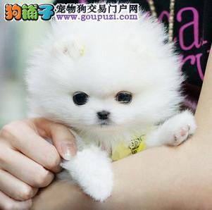 石家庄自家狗场繁殖直销茶杯犬幼犬喜欢加微信可签署协议