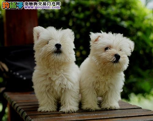 哈尔滨出售颜色齐全身体健康西高地微信咨询看狗狗照片