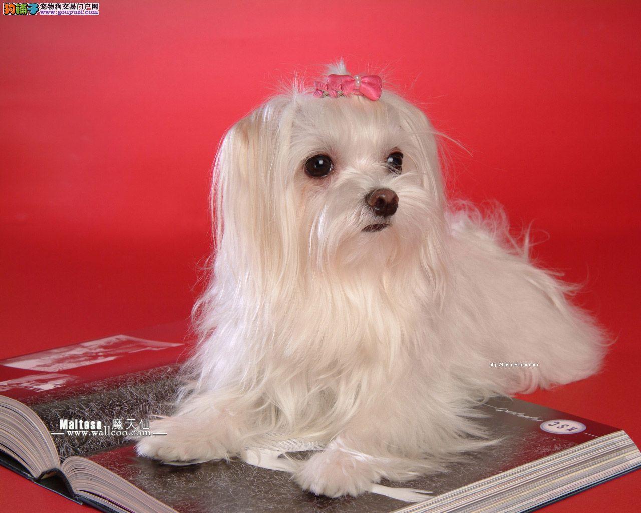 玛尔济斯犬的特征是被毛漂亮美丽容易饲养照料的犬种