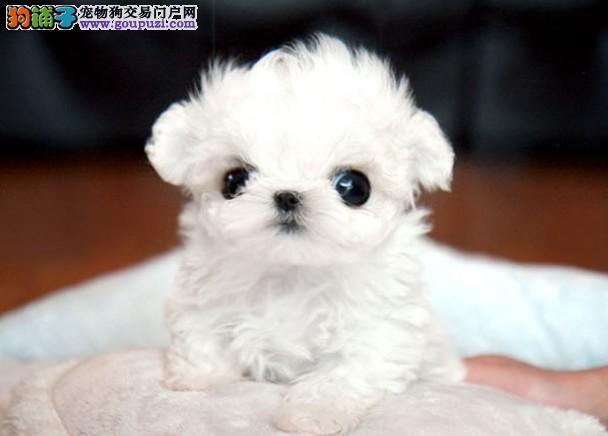 CKU认证犬舍出售高品质茶杯犬期待您的来电咨询3