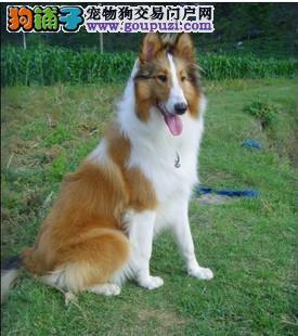北京专业繁殖苏格兰牧羊犬 赛级血统 健康 购买有保障