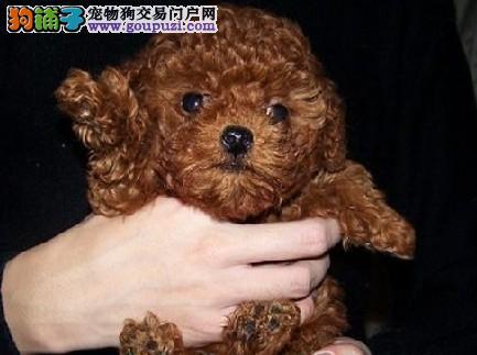 茶杯犬长沙 长沙转让迷你型幼犬 宠物狗袖珍犬 CKU认证