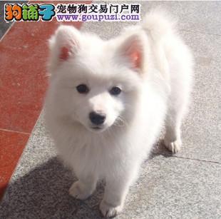 专业正规犬舍热卖优秀的海口银狐犬签正规合同请放心购买