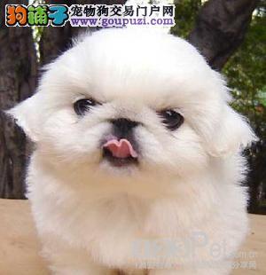吐鲁番专业繁殖优质京巴狗幼犬签定质保可送货亲选可视频