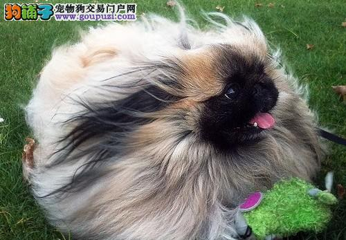 赛级京巴宝宝 CKU认证犬舍 质保全国送货1