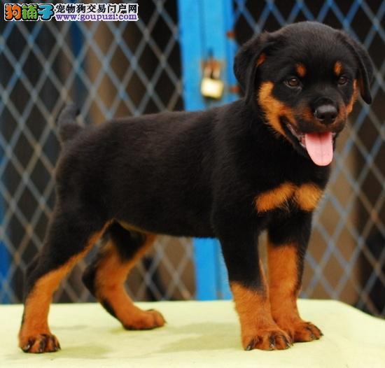 神犬忠实护主的罗威纳幼犬特价出售(包纯种健康)