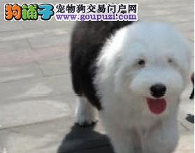 犬舍出售两月龄古代牧羊犬/骨架大/黑眼/蓝眼/有全白头