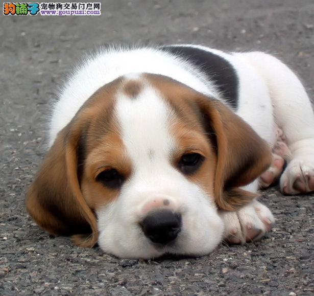 多种颜色的赛级比格犬幼犬寻找主人喜欢它的快来