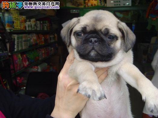 苏州专业繁育巴哥犬犬舍直销可看父母 价格合理