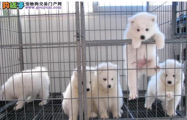出售银狐幼犬 纯种健康银狐尖嘴找新家 价格便宜