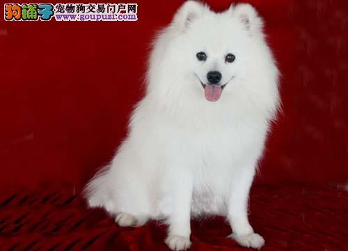 实物拍摄的安阳银狐犬找新主人签订协议终身质保