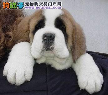 CKU认证犬舍出售高品质圣伯纳可直接视频挑选
