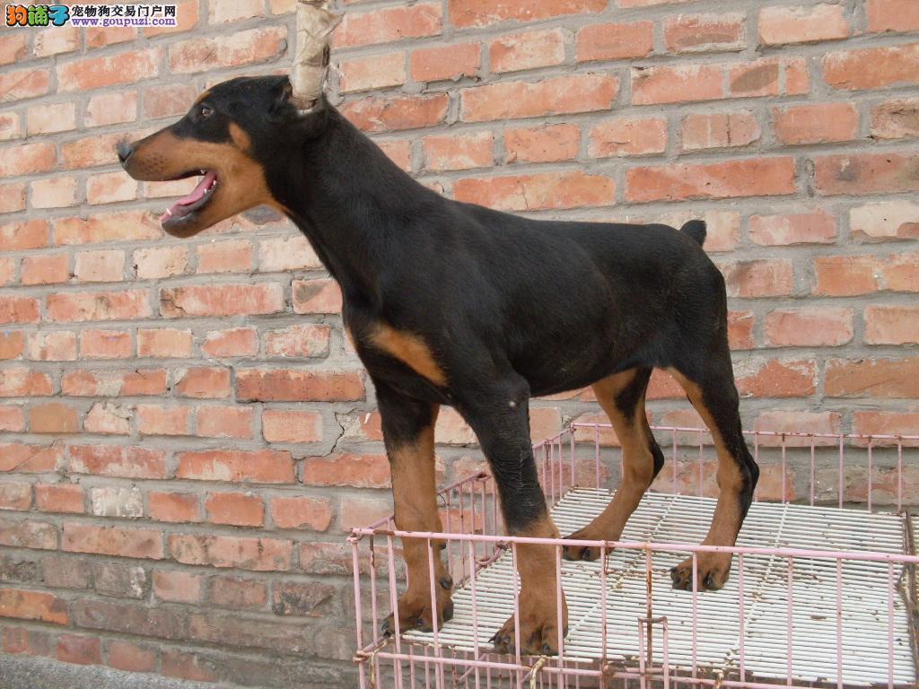 郑州出售颜色齐全身体健康杜宾犬冠军级血统品质保障