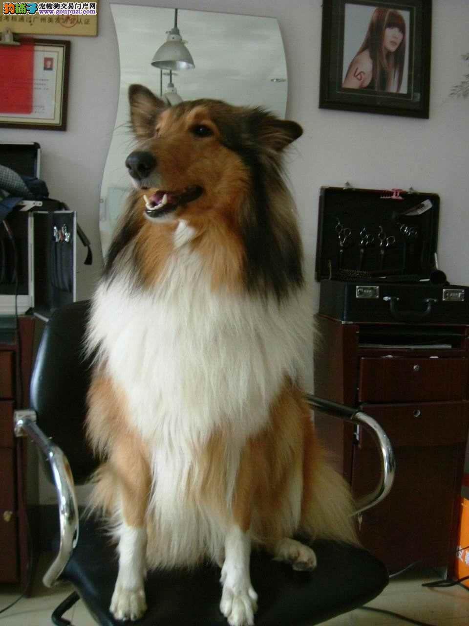 CKU认证犬舍直销高品质苏牧幼犬纯种健康质保