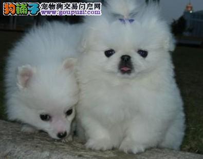京巴宝宝出售中、可看狗狗父母照片、寻找它的主人
