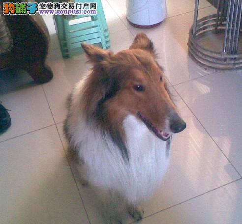 昌江县售感情细腻苏格兰牧羊犬幼犬 优秀苏牧幼犬