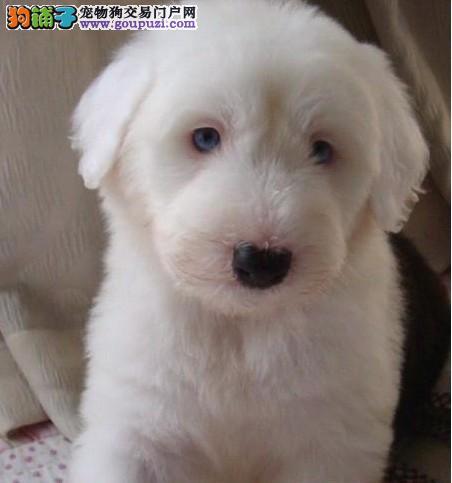 太原出售纯种古牧幼犬白头齐肩通背 四蹄踏雪纯种健康