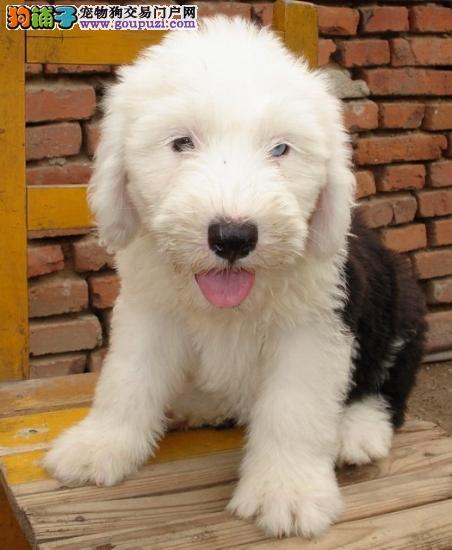 100%纯种健康的镇江古代牧羊犬出售优质服务终身售后