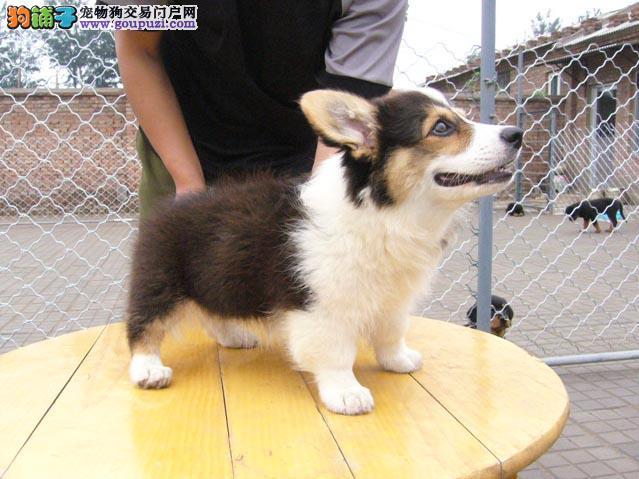 苏州高品质柯基犬带血统出售终身质保质量三包可视频