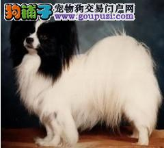 出售颜色齐全身体健康蝴蝶犬喜欢加微信可签署协议4