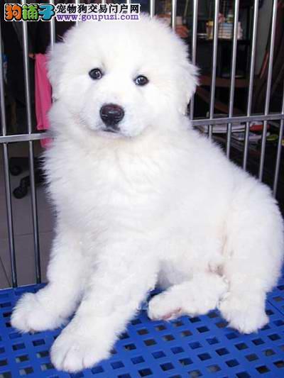 纯血统 超大骨量赛级双冠大白熊幼犬出售 健康签质