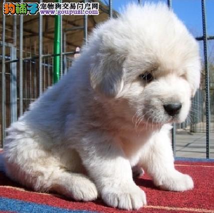 五个方法轻松建立与大白熊犬之间的友好关系