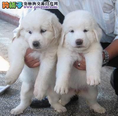 怎样科学照顾好年幼的大白熊犬