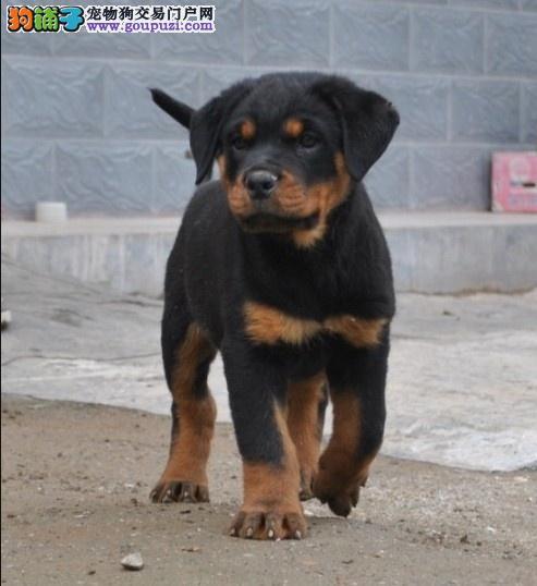 出售质保签署协议高品质罗威纳幼犬3