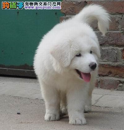 出售纯种可爱的大白熊幼犬健康保证品质一流