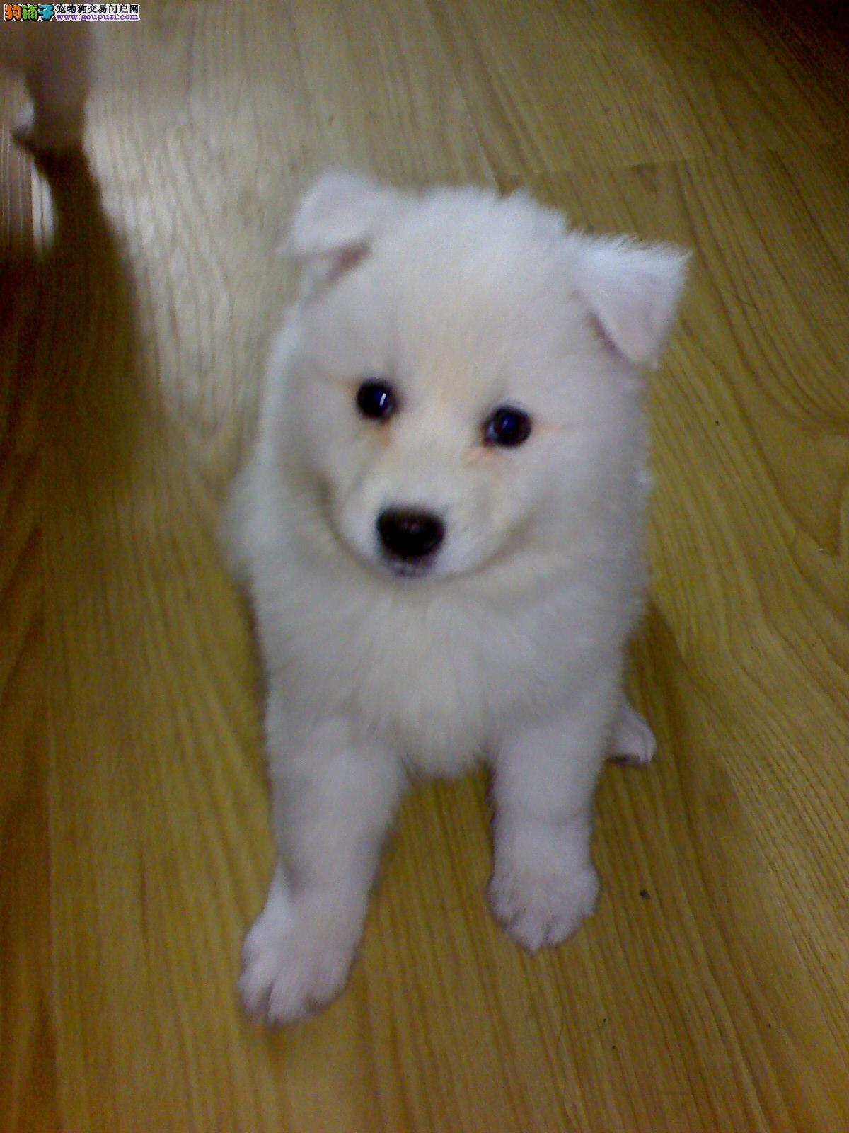 家养纯种日本尖嘴幼犬宝宝出售可以办血统证书上门看狗