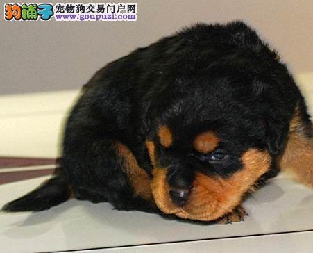 临沂市出售罗威纳 可视频看狗 质量三包 签售后协议