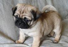 血统纯正的巴哥幼犬美丽动人