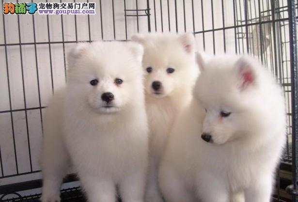 合肥纯种银狐幼犬多少钱?合肥哪里买银狐幼犬