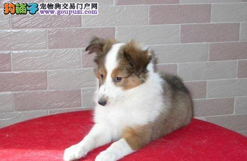 纯种犬培育中心售高品质喜乐蒂犬签质保三年可送货3