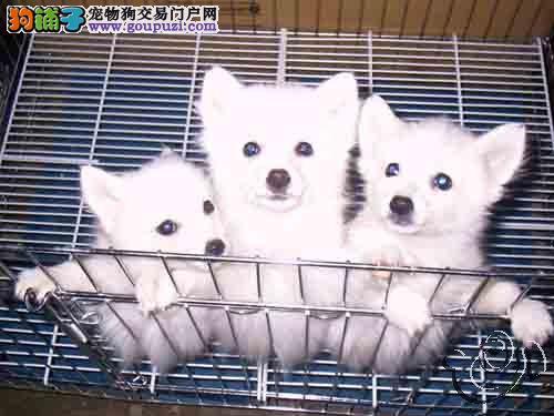 长沙纯种银狐犬多少钱一只 是纯种健康的吗3