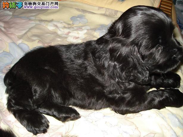 出售多种颜色榆林纯种可卡幼犬期待您的咨询