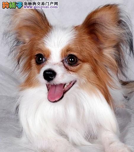 出售纯种蝴蝶犬 活泼健康 可上门看狗 签协议 质量三包