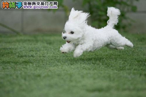 狗场纯种憨厚的马尔济斯宝宝健康品质有保证