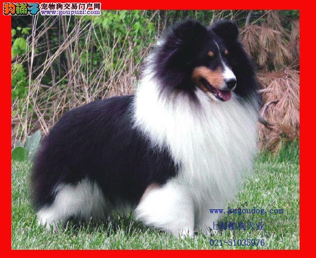 福州晋安区出售家养喜乐蒂幼犬一只