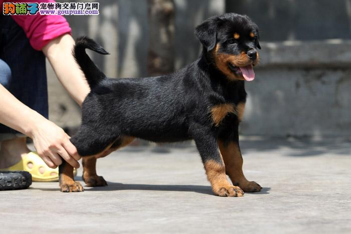 本犬舍出售专业繁殖纯种骨量好大头精品罗威纳出售 健