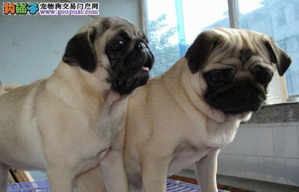 可爱自然呆犬种,巴哥幼崽,送女朋友的首选!!