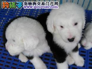 白头古牧多少钱_俄罗斯5个月的大白头古牧DD牧羊犬和牧牛犬
