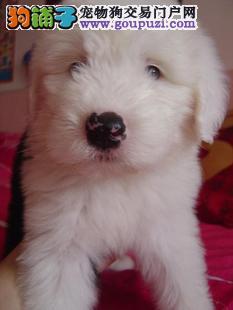 实物拍摄古牧幼犬2-6个月均有,可签订质保协议
