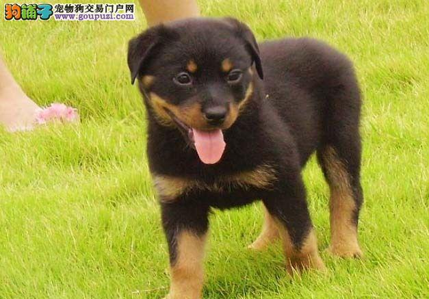 合肥出售罗威纳犬 纯种保健康 赛级后台售后三包