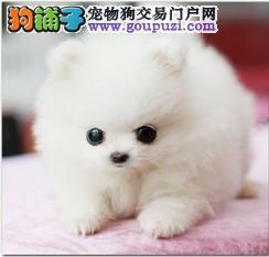 出售家养茶杯狗狗 茶杯袖珍犬 长不大的袖珍幼犬