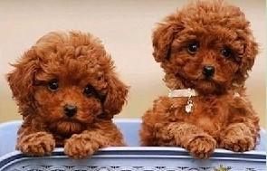 海西州售精品泰迪熊多种颜色泰迪幼犬可挑选茶杯标准体