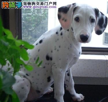 白山纯种健康斑点狗公母都有疫苗做齐 签订质保协议