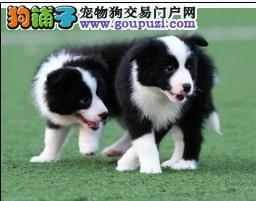 本溪自家繁殖健康纯种边牧宝宝品相好智商高边境牧羊犬