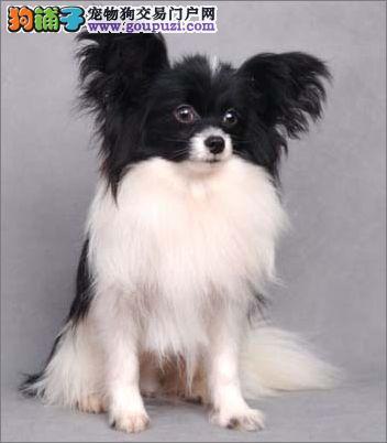 赛级蝴蝶犬幼犬、纯度第一价位最低、三包终生协议